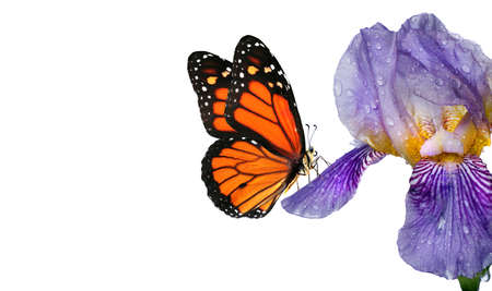 colorful monarch butterfly on blue iris flower in water drops isolated on white