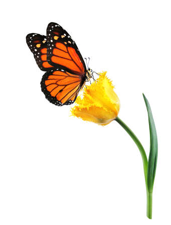 colorful monarch butterfly on yellow tulip flower isolated on white