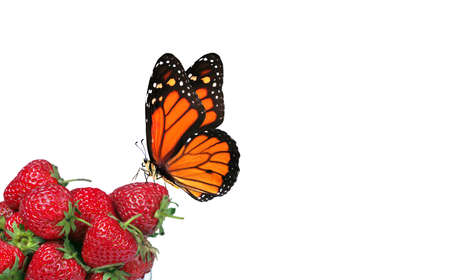red ripe strawberry and colorful monarch butterfly. ecologically healthy food concept
