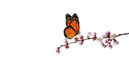 colorful monarch butterfly on a blooming apricot branch isolated on white Фото со стока