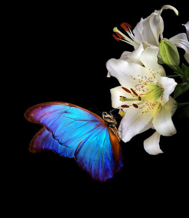 bright blue tropical morpho butterfly on white lily flowers isolated on black