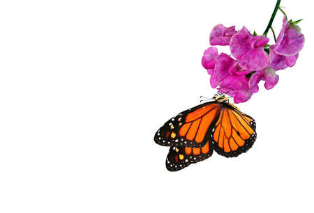 colorful monarch butterfly on tropical purple flowers. butterfly on flowers isolated on white.