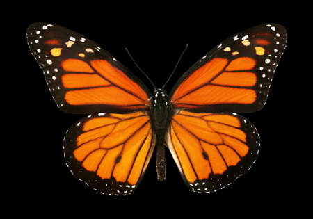 colorful monarch butterfly isolated on black