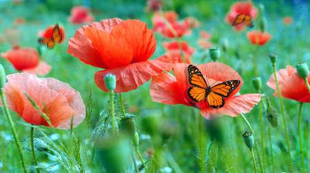 colorful monarch butterfly on red poppy flowers. butterflies in the poppy field Фото со стока