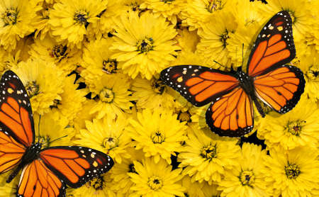 natural orange background. bright monarch butterfly on a background of orange gerbera flowers Фото со стока