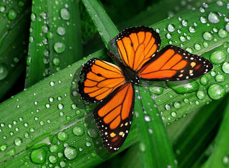 colorful monarch butterfly on green leaves in water drops after rain