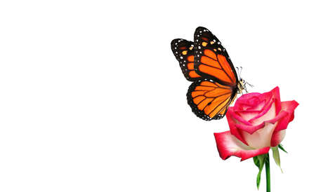 colorful monarch butterfly on pink rose flower isolated on white. copy space Фото со стока