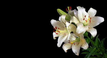white lily flowers isolated on black. close up. copy space