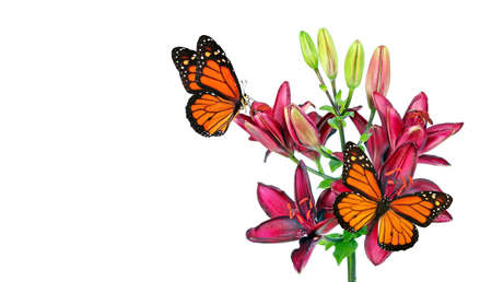 colorful monarch butterflies on purple lily flowers isolated on white