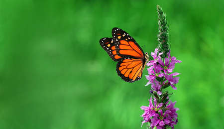 colorful monarch butterfly on purple flowers. butterfly on flowers