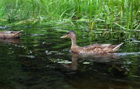 waterfowl. wild duck on the pond.