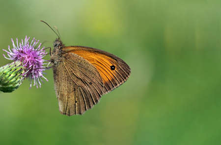 colorful butterfly on purple thistle flower. copy space