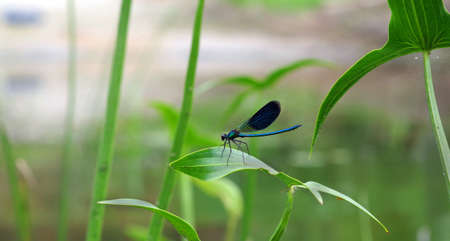 river bright blue dragonfly on a leaf.