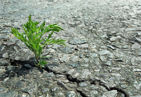 Ragweed growing in a cracks on the asphalt. green sprout in a crack on the road