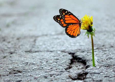 the triumph of life. dandelion in the crack of asphalt. colorful monarch butterfly on dandelion flower. selective focus. copy space Standard-Bild