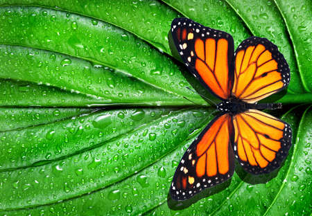 colorful monarch butterfly on green leaf in water drops