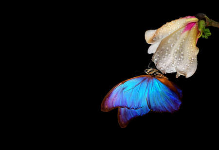 bright blue tropical morpho butterfly on white magnolia flower in water drops isolated on black. magnolia bud and butterfly close-up