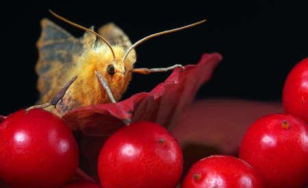 fluffy moth close-up. yellow moth on viburnum