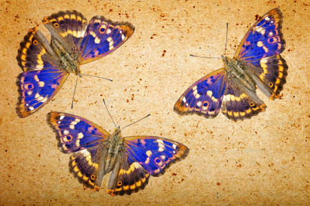 old paper texture and blue butterflies. grunge background with butterflies