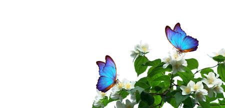 bright blue tropical morpho butterflies on white jasmine flowers. butterflies on flowers. copy space Standard-Bild
