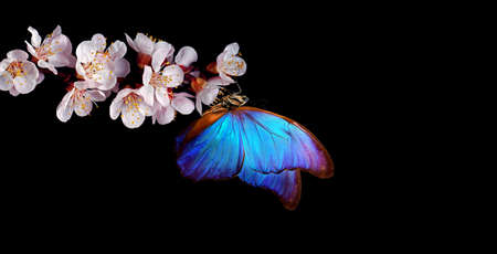 bright blue morpho butterfly on black spring flowers. apricot blossom branch isolated on black. copy space Standard-Bild