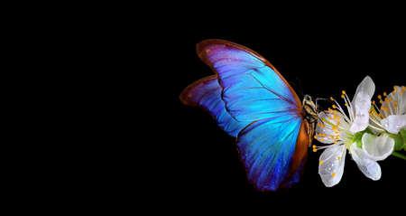 bright blue morpho butterfly on spring flowers. copy space Standard-Bild