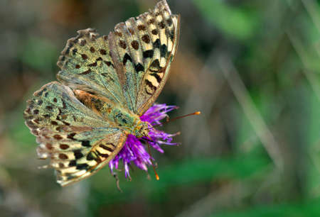 bright spotted butterfly on a purple flower