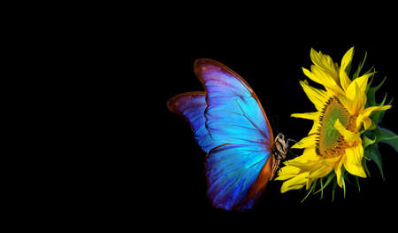 colorful blue morpho butterfly on sunflower isolated on black. copy space
