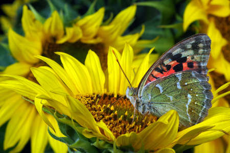 colorful butterfly on sunflowers close up
