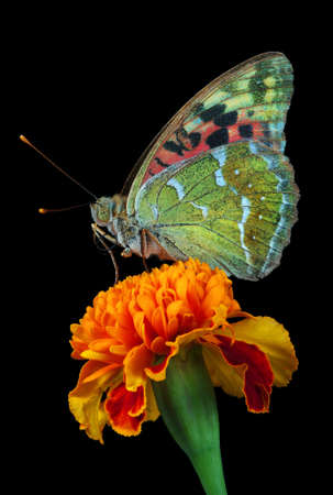 colorful butterfly on marigold flower isolated on black. copy space