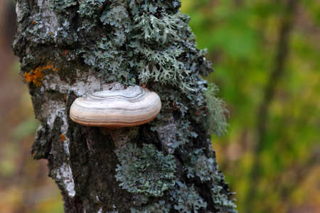 fungus and on the trunk of a birch. Chaga and moss on a birch. Polypore. Standard-Bild
