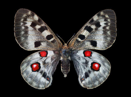 Apollo butterfly (Parnassius apollo). Colorful bright apollo butterfly isolated on black. Beautiful butterfly for design