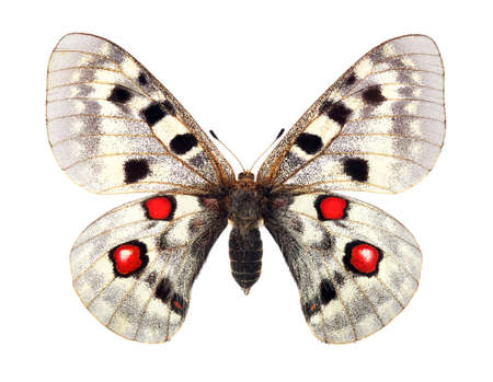 Apollo butterfly (Parnassius apollo). Colorful bright apollo butterfly isolated on white. Beautiful butterfly for design