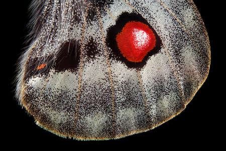 Apollo butterfly wing isolated on black. macro photography butterfly wing Standard-Bild
