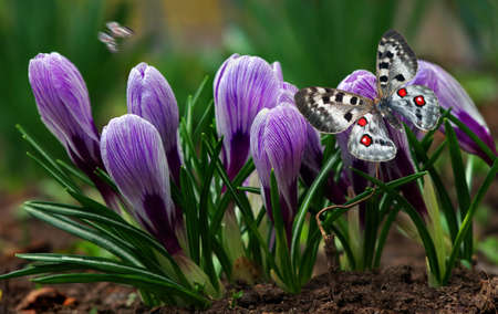 Apollo butterfly (Parnassius apollo). Bright colorful butterfly apollo on spring crocus flowers. Standard-Bild