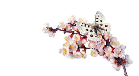 colorful apollo butterfly on sakura blossom branch isolated on white
