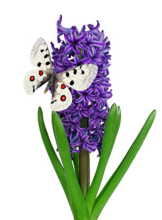colorful apollo butterfly on hyacinth flower isolated on white