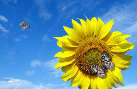 bright apollo butterfly sitting on a sunflower against a blue sky. butterfly on a flower. copy space Standard-Bild