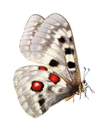 Butterfly in flight. Apollo butterfly (Parnassius apollo). Colorful bright apollo butterfly isolated on white. Beautiful butterfly for design. Standard-Bild
