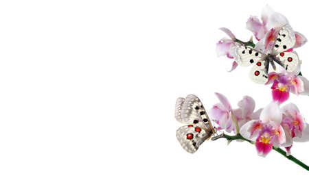 apollo butterflies on branch of orchid flowers isolated on white