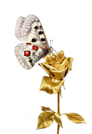 bright apollo butterfly on golden rose isolated on white. golden rose and butterfly Standard-Bild