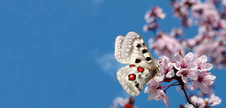 colorful apollo butterfly on sakura blossom branch. copy space