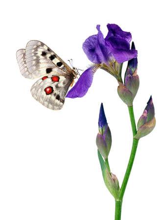 bright butterfly apollo parnassius on iris flower isolated on white. butterfly on flower for design Standard-Bild