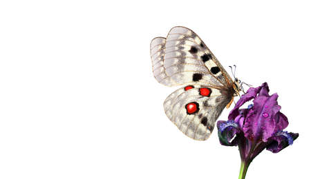 bright butterfly apollo parnassius on purple iris flower isolated on white. butterfly on flower for design. copy space Standard-Bild