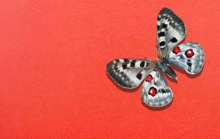 apollo butterfly on red paper background. copy space
