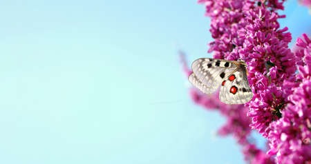 colorful apollo butterfly on pink sakura blossom branch. copy space