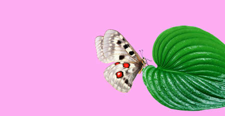 bright apollo butterfly on a green tropical leaf. butterfly and leaf on pink background. copy space