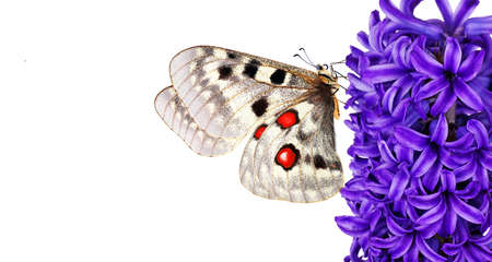 colorful apollo butterfly on blue hyacinth flower isolated on white. copy space