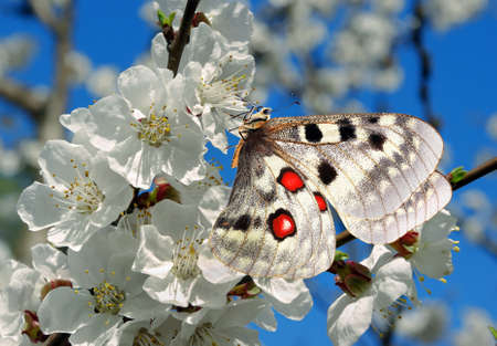 colorful apollo butterfly on sakura blossom branch.