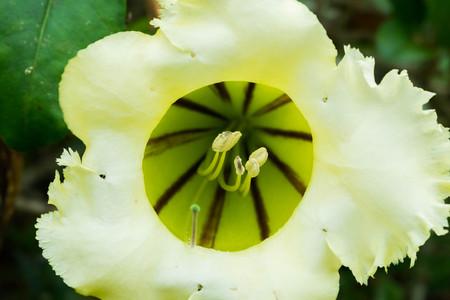 carpel closeup